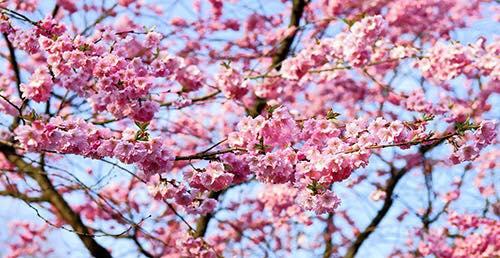 Bild på plommor i ett träd